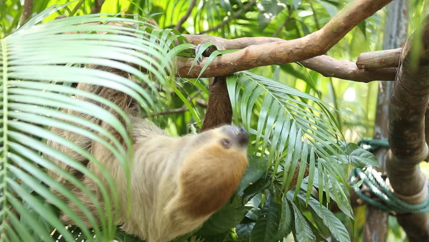 Young Two-toed sloth  sleep on tree | Shutterstock HD Video #9669521