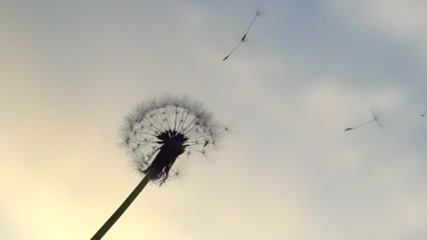 The wind blows away dandelion seeds. Slow motion 240 fps. High speed camera shot. Full HD 1080p. Slowmo