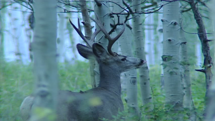 Big Mule deer Buck standing and walking away | Shutterstock HD Video #9709565