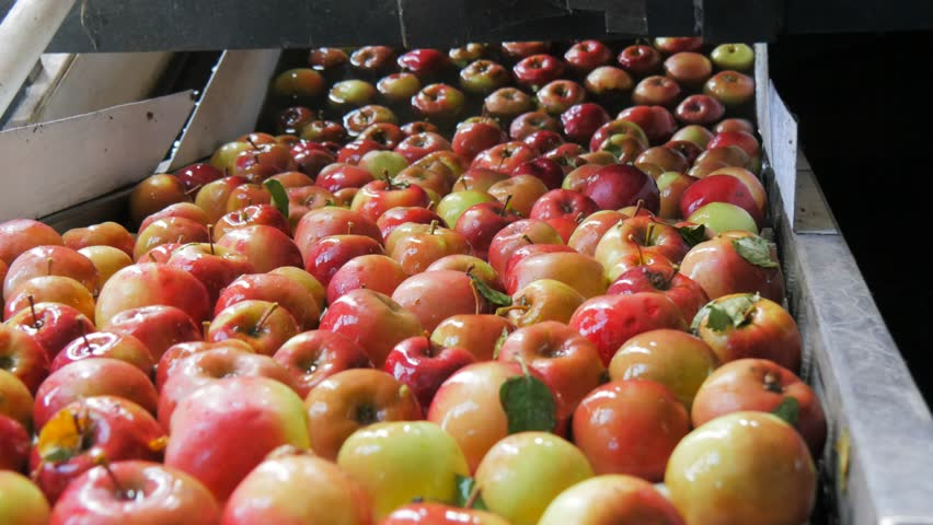 Close up of freshly picked red fiji apples being washed and traveling up a conveyor belt in a tasmanian apple packing shed prior to be graded and packaged