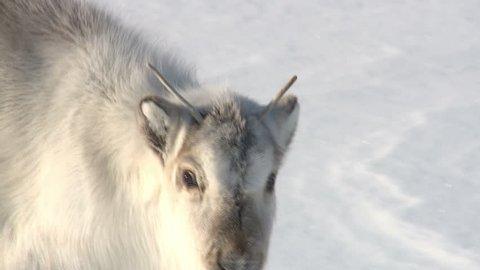 Little fluffy reindeer looking at the camera. Longyearbyen, Svalbard.