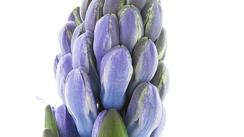 Timelapse of blue hyacinth flower blooming on white background close up view