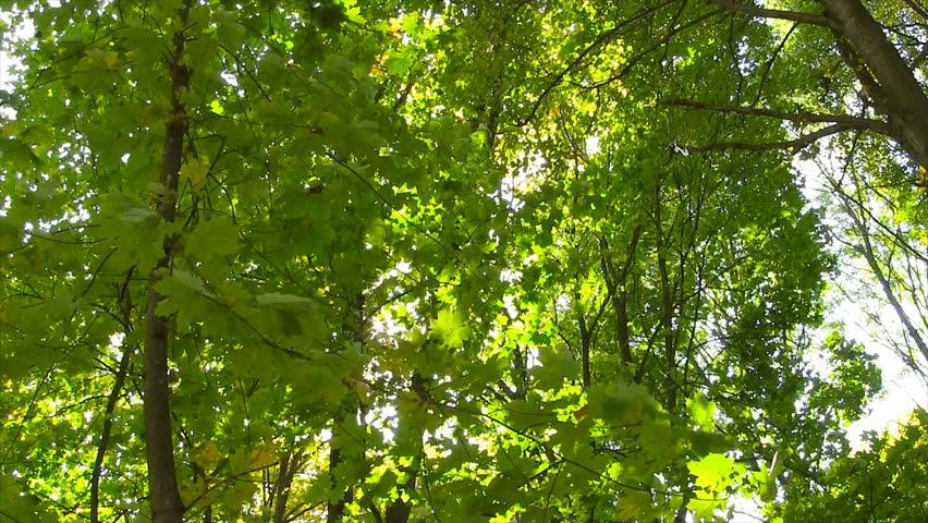 Sun Breaking Through Green Leaves. Shot With Motorized Slider. | Shutterstock HD Video #9890666