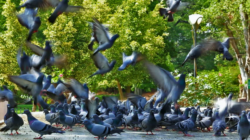 Flock of Pigeons flying off from the feeding area in Bangalore, India
