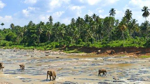 Elephants in the river - Sri Lanka 4k
