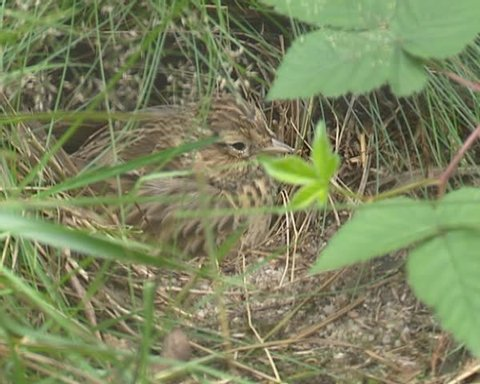 Skylark (alauda arvensis) sits on nest to keep the eggs (or hatchlings) warm.
