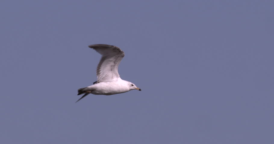 Seagull flying in 240 fps slow motion against blue sky. | Shutterstock HD Video #9957443