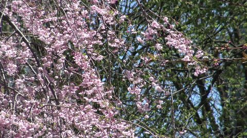Pink Cherry Blossoms or Sakura flowers in full bloom in the springtime , 4K Nature footage 2015
